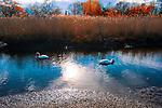 Geese in wetlands stream at dusk