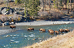 Bison (Bison bison) fording the Lamar River in Yellowstone National Park on fall migration.