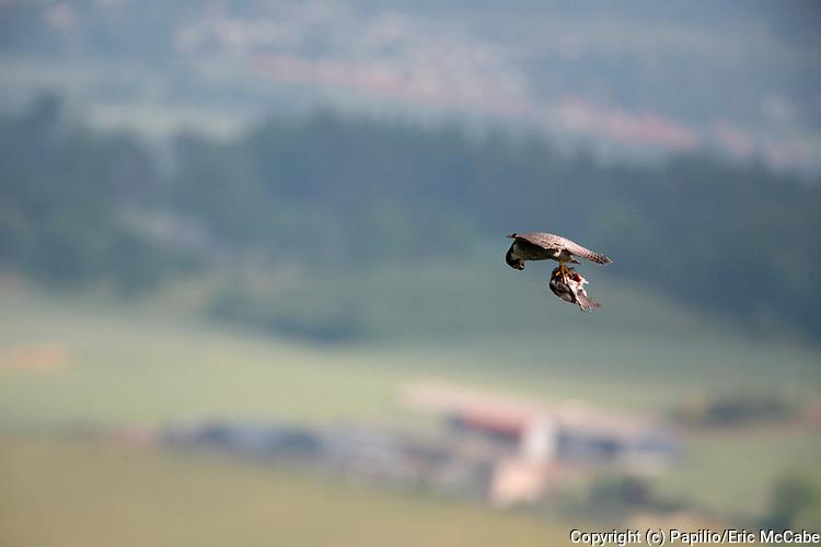 Peregrine falcon, Falco peregrinus carrying pigeon prey near to Perth <br /> nature<br /> wildlife<br /> british<br /> britain<br /> Scotland<br /> bird<br /> raptor<br /> falcon<br /> predator<br /> prey<br /> pigeon<br /> flight<br /> flying<br /> Falco peregrinus<br /> Falco<br /> UK<br /> kill