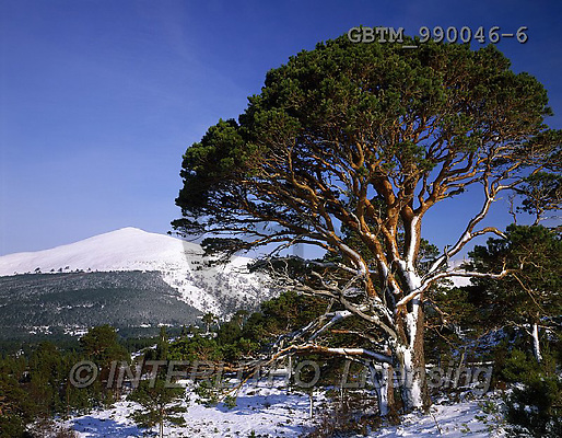 Tom Mackie, LANDSCAPES, photo, photos,+4x5, 5x4, Aviemore, blue skies, blue sky, Britain, British, cairngorm, cold, EU, Europa, Europe, forest, Great Britain, Highl+and Region, horizontal, horizontally, horizontals, large format, mountain, mountainous, pine tree, pine trees, Scotland, scot+s pine, Scottish, snow capped mountains, tree, trees, UK, United Kingdom, winter, wintery,4x5, 5x4, Aviemore, blue skies, blu+e sky, Britain, British, cairngorm, cold, EU, Europa, Europe, forest, Great Britain, Highland Region, horizontal, horizontall+,GBTM990046-6,#L#