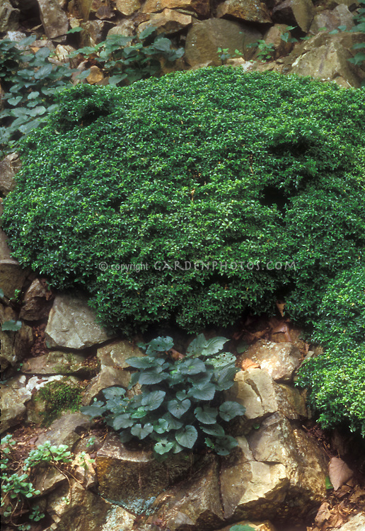 Viola riviniana Purpurea Group with Boxwood Buxus microphylla Green Gem
