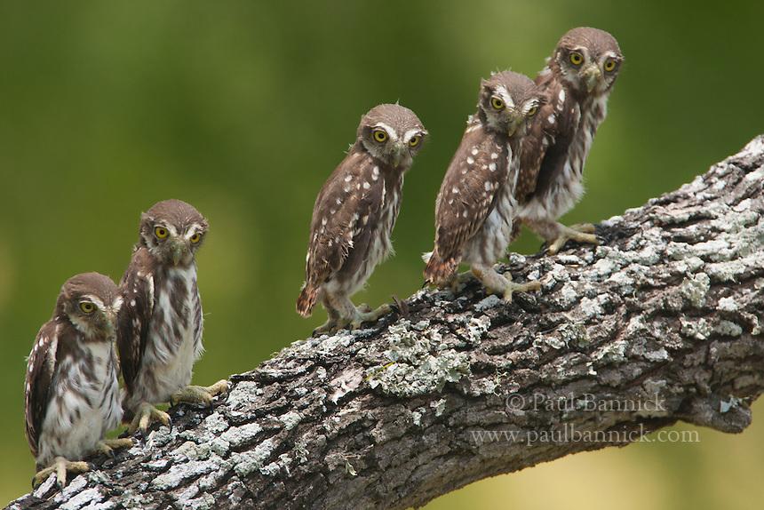 Five Ferruginous Pygmy-Owls perch on a oak limb the day after fledging.