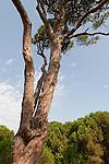 Israel, Galilee. Stone Pine (Pinus Pinea) in the Bahai Garden near Acco