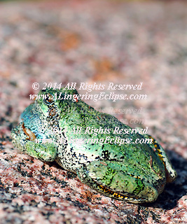 The Central &amp; Eastern USA has a lively inhabitant in the gray tree frog. Wikipedia states: &quot;The Gray Tree Frog (Hyla versicolor), written more commonly as one word as Gray Treefrog, is a species of small arboreal frog native to much of the eastern United States and southeastern Canada.[1]<br />