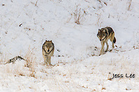 Young wolves planing with adults