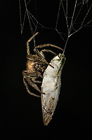 I discovered this spider in the dark when I spotted two glowing lights.  It had captured and wrapped up a firefly, which was still alive inside the cocoon!