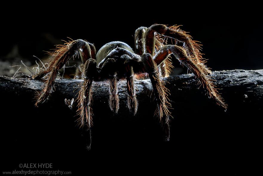 Chicken Spider (Pamphobeteus sp.), a huge tarantula discovered next to it's burrow at night in dense tropcial rainforest. Manu Biosphere Reserve, lowland Amazon rainforest, Peru. November.