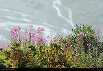 Fireweed, Denali National Park, Alaska