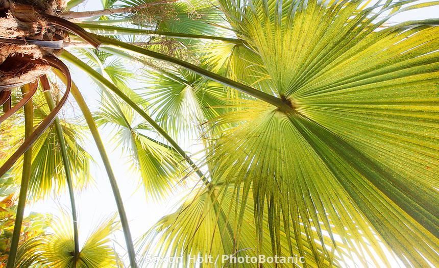 Sun light shining through palm leaves, Brahea edulis (Guadalupe Palm, Palma de Guadalupe) backlit  in Worth garden, California