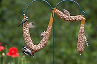 Buntspecht, Kohlmeise und Feldspatz an der Vogelfütterung, Fütterung am Futterschlauch, Körnerfutter, Kohl-Meise, Meise, Meisen, Parus major, great tit, Bunt-Specht, Specht, Spechte, Dendrocopos major, Great Spotted Woodpecker, Woodpeckers, Pic épeiche, Feld-Spatz, Feldsperling, Feld-Sperling, Spatz, Sperling, Passer montanus, tree sparrow. Ganzjahresfütterung, Vögel füttern im ganzen Jahr, Riesenfutterschlauch, Vogelfutter der Firma GEVO