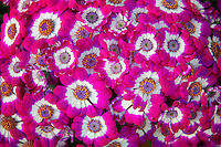 Close up of Cineraria flowers. Al's Nursery. Oregon