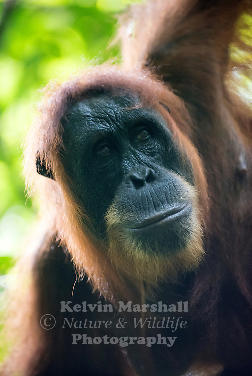Male Sumatran orangutan (Pongo abelii) is one of the two species of orangutans. Found only on the island of Sumatra in Indonesia, it is rarer than the Bornean orangutan. Gunung Leuser National Park, Bukit Lawang - Northern Sumatra Indonesia.