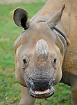Great Indian One Horned Rhinoceros at  ZSL Whipsnade Zoo on Wednesday 24 October 2012