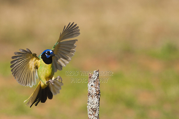 Green Jay (Cyanocorax yncas) adult landing, Starr County, Rio Grande Valley, South Texas, USA
