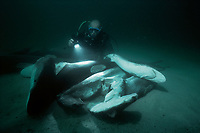 Diver examines sharks, finned and thrown overboard to drown. Cocos Island, Costa Rica - Pacific Ocean Oce