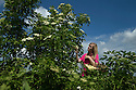 16/06/15<br /> <br /> Hannah Nichols-Pearce (23) starts the elderflower harvest at Belvoir Fruit Farms, Leicestershire.  Unusually cool nights in the Midlands have caused the harvest to be three weeks late and it's now a fight against time to bring in the blossoms.  The appeal of elderflower cordial has seen Belvoir's sales increase by 20 percent in the last year and the need for the family run business to invest in a &pound;4.5m state of the art factory to keep up with demand.<br /> <br /> <br /> All Rights Reserved - F Stop Press.  www.fstoppress.com. Tel: +44 (0)1335 418629 +44(0)7765 242650