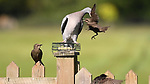 Pigeon picks starling up at feeder by Alex Appleby