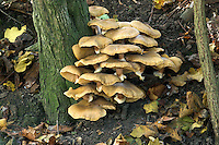 honey fungus<br /> Armillaria mellea