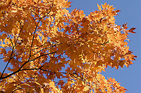 AUTUMN FOLIAGE<br /> Maple Tree<br /> Leaves appear green because of an abundance of chlorophyll<br /> In fall when the chlorophyll breaks down, carotenoid and xanthophyll pigments become visible showing orange and yellow colors.