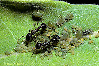 1A29-037z  Aphid - ant milking aphids for honey dew on milkweed plant, mutualism