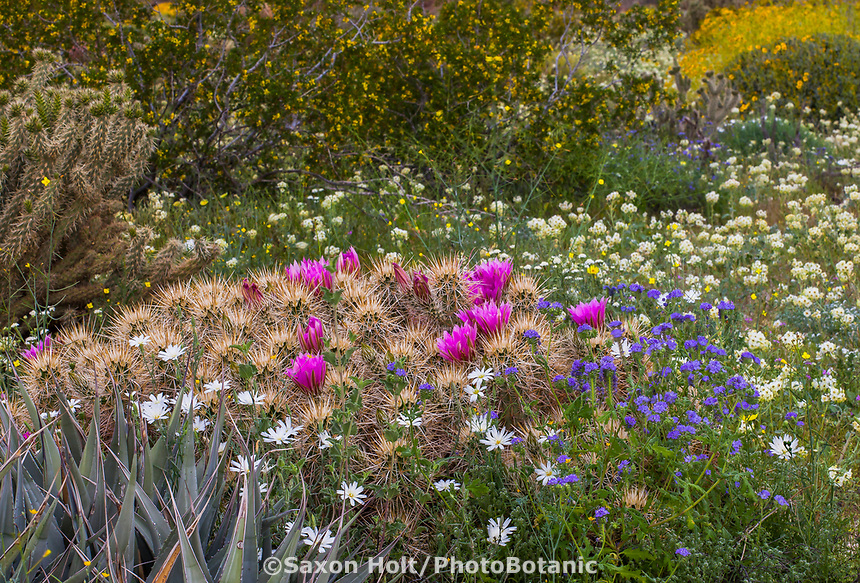 Natural desert garden - Echinocereus engelmannii, Hedgehog Cactus or Calico Cactus flowering in Sonoran Desert at Anza Borrego California State Park with Rafinesquia neomexicana, Desert Chicory, Chylismia claviformis, Brown-eyed Primrose, Blue Phacelia (Phacelia distant), Larrea tridentata, Creosote Bush, and Phacelia distans, Distant phacelia
