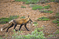 Red fox returns from a hunt with a ground squirrel, Denali National Park, Alaska