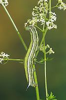 Taubenschwänzchen, Raupe frisst an Labkraut, Taubenschwanz, Macroglossum stellatarum, Wanderfalter, Kolibrischwärmer, Kolibri-Schwärmer, Schwärmer, Sphingidae, Hummingbird Hawk-moth, caterpillar, Hummingbird Hawkmoth, Humming-bird Hawk-moth, Hummingmoth, sphinx moth, sphinx moths, hawkmoths, hawk moths