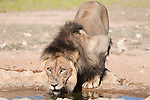 Lion male, Panthera leo, drinking, Kgalagadi Tranfrontier Park, South Africa