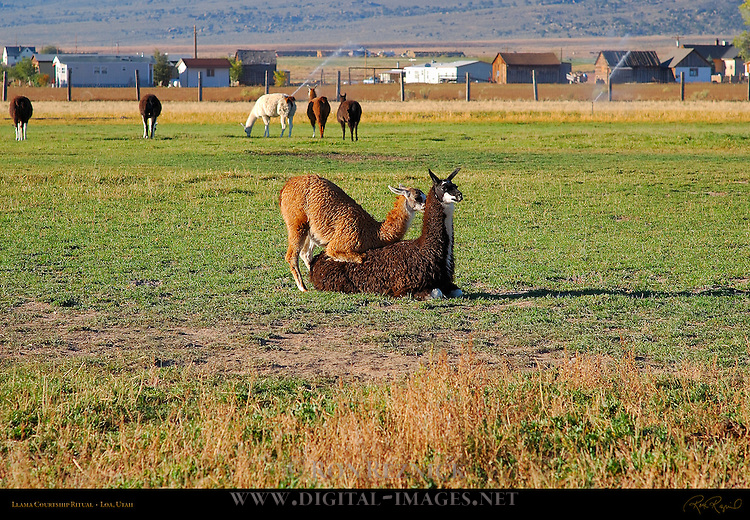 Llama Courtship Ritual, The Mounting, Loa, Utah