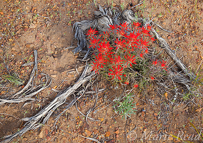 Indian Paintbrush (Castilleja sp.) flowering amid dead Sagebrush (Artemisia tridentata) stems, on the desert floor, Mono Lake Basin, California, USA. Paintbrush grows as a partial root-parasite on Sagebrush