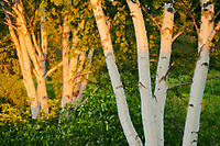 Birches at sunset, Near Mactaquac , New Brunswick, Canada