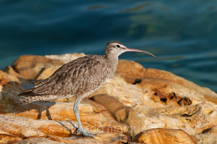 Whimbrel (Numenius phaeopus hudsonicus) seeking for food in the the rocks at Pacheca Island shore. Las Perlas Archipelago, Panama province, Panama, Central America.