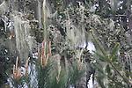 Beard lichen on Monterey Pine
