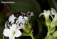 0305-0925  Froglet, Amazon Milk Frog (Marbled Tree Frog) on Bunch of White Flowers, Trachycephalus resinifictrix (formerly: Phrynohyas resinifictrix)  © David Kuhn/Dwight Kuhn Photography