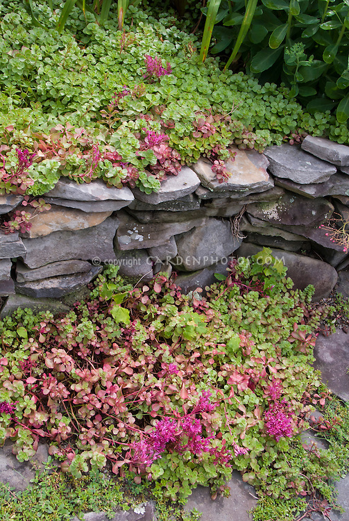 Succulent groundcover for sunny spot, Sedum Dragon's Blood, retaining wall of stones, daylilies Hemerocallis