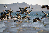 MEXICO, Baja, Magdalena Bay, Pacific Ocean, flocks of Pelican seen while grey whale watching in the bay