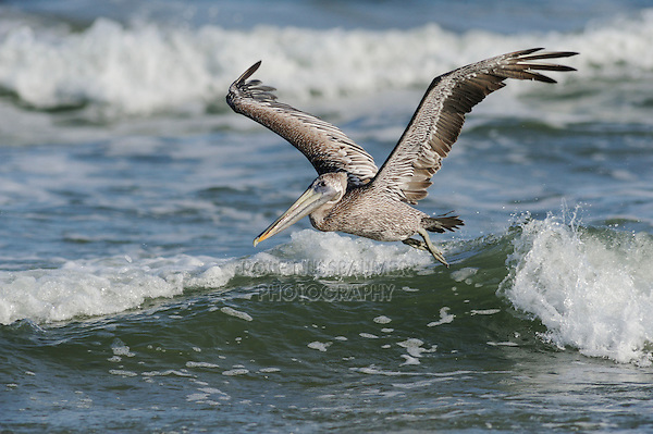 Brown Pelican (Pelecanus occidentalis), immature in flight, Port Aransas, Texas, USA