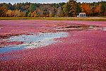 Harvest time in the cranberry bogs of Carver, MA, USA