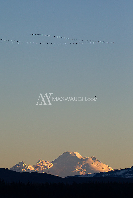 Snow geese migrate by the tens of thousands through western Washington in winter.  Here, a flock flies past Mount Baker.