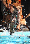 Lilly enjoys the third annual Pooch Plunge at the Carson Aquatic Facility in Carson City, Nev., on Saturday, Sept. 17, 2011. The event, which raises money for Parks 4 Paws, continues Sunday with sessions at 9 a.m., 11 a.m. and 1 p.m..Photo by Cathleen Allison