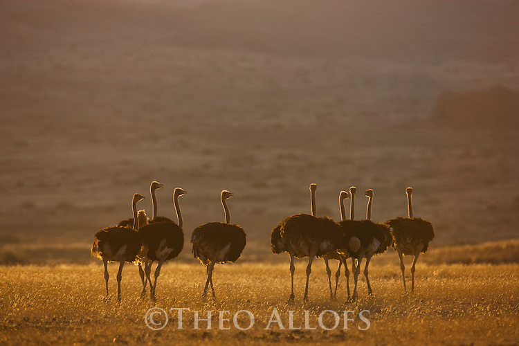 Namibia;  Namib Desert, group of ostriches