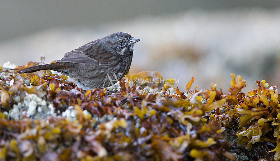 This Song sparrow was picking at the rockweed dotting the shoreline.