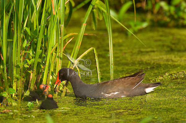 Common Moorhen--adult feeding young.  Southern swamp.  May.