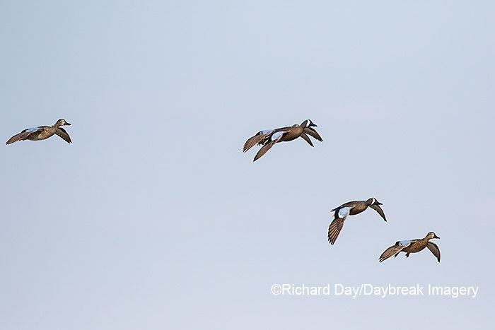 00722-02901 Blue-winged Teal (Anas discors) in flight, Marion Co., IL