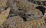 Les crocodiles sont élevés dans des fermes d'élevage jusqu'à l'age d'un à deux ans..Australie. Territoire du Nord.Darwin.  crocodiles