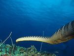 Orchid Island (蘭嶼), Taiwan -- Chinese sea snake at Jichang Waijiao (機場外礁)