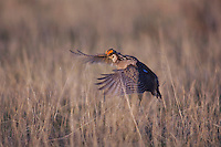 Lesser Prairie-Chicken, Tympanuchus pallidicinctus, male in flight, Canadian, Panhandle, Texas, USA, February 2006