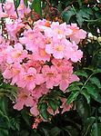 6155-CM Pink Trumpet Vine, Podranea ricasoliana, flowers, foliage Jerusalem, Israel.