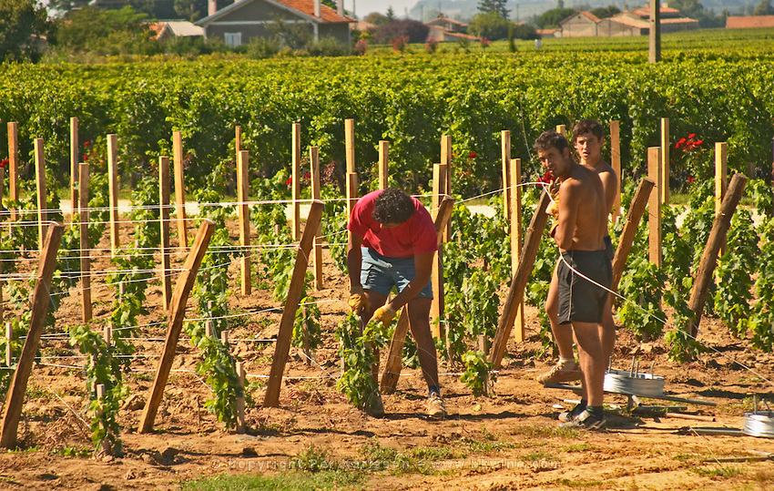 Vineyard workers taking a pause. Putting up new steel wires at a recently planted vineyard. The vines are supported by the wires