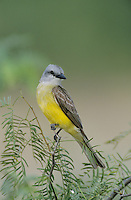 Couch's Kingbird, Tyrannus couchii , adult, Starr County, Rio Grande Valley, Texas, USA, May 2002